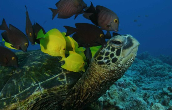Turtle with shoal of fish