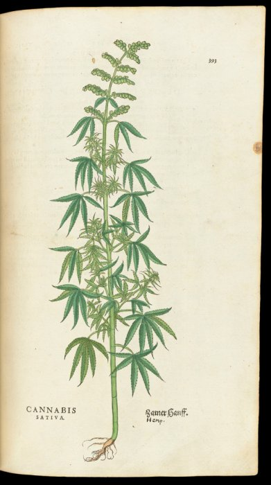 Botanical illustration of the cannabis or Indian Hemp plant