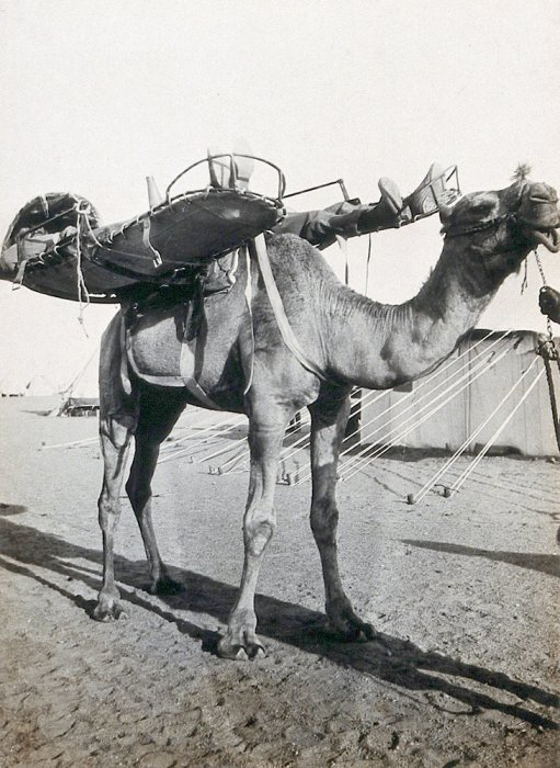 A camel with two stretchers on its back